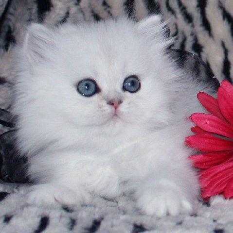 White persian kittens for sale chicago