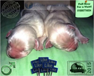 newborn Labrador puppies