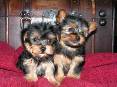 Healthy Male and Female Yorkshire Terrier Puppies For Good Home