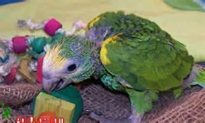 Yellow Nape Amazon Parrot Babies for sale.