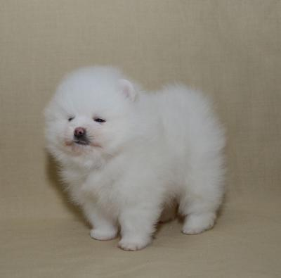 Charming Teacup Pomeranian Puppies for adoption