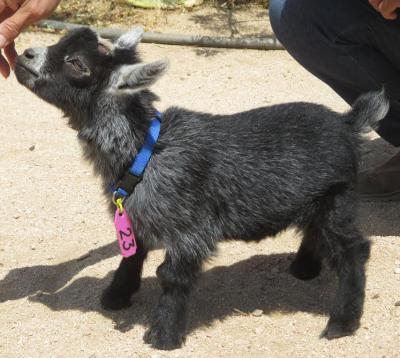 African Pygmy Goats - Kids Are Here - Ship Worldwide