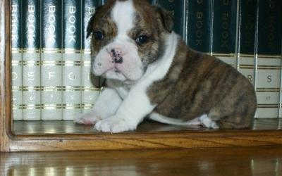 Akc Registered M/F English Bulldog Puppies For sale