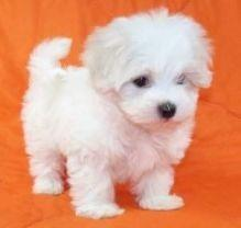 Quality Registered Maltese puppies(507) 291-5493
