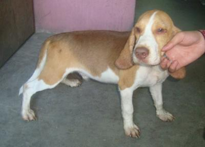 QUALITY CHOCO LOVER TRICOLOR MALE BEAGLE GOOD FOR FUTURE STUD