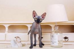 Available Sphynx kittens