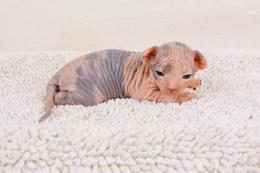 Available Sphynx kittens