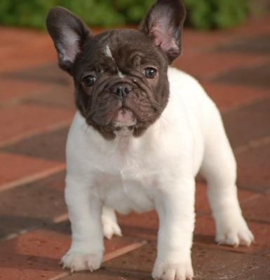 ddss Blue And Blue Pied French Bulldog Pups For Sale!