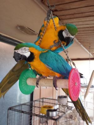 Tame Blue and Gold Macaw Pair Breeders