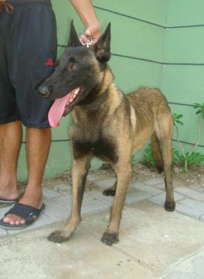 QUALITY AGGRESSIVE STUD DARK SABLE BELGIAN MALINOIS IMPORTED LINEAGE