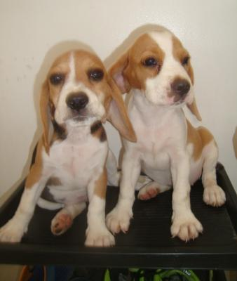 Quality Beagle Puppies 20 Red Marks Aussie and US Lineage for Grabs