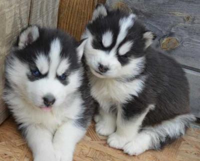 Outstanding Siberian Husky For Sale.