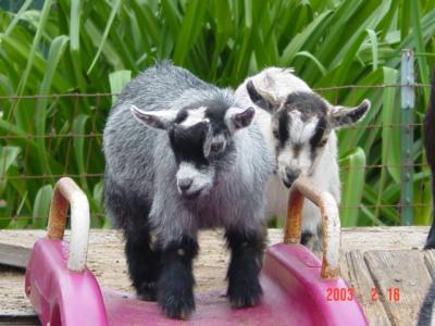 African Pygmy Goats - Ship Worldwide