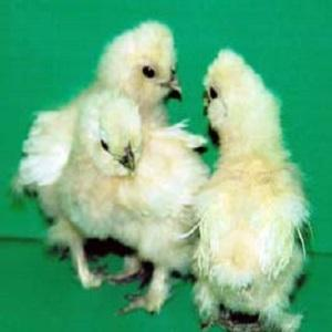 Bearded Bantam Silkie Chickens