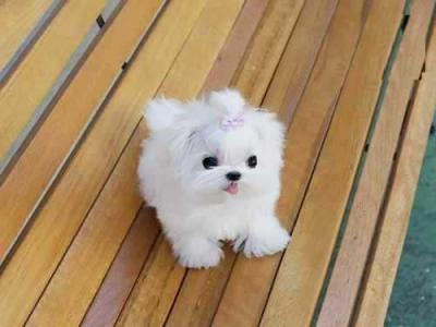Gorgeous full coat teacup Maltese  puppies (male and female)