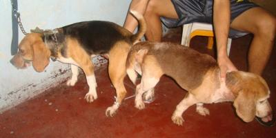 QUALITY MATED BEAGLE RUSH SALE EASY ROI RUSH FOR GRABS