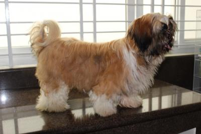 QUALITY 20  RED MARKS PROLIFIC STUD SHIH TZU FOR STUD OR SALE