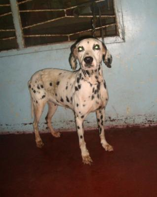 XL DALMATIAN GIVES 8-10 PUPS VERY PROLIFIC FOR RUSH SALE OR SWAP!!