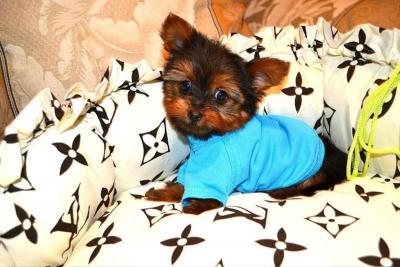 Teacup Yorkie Pup - Luna