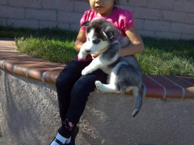 Awesome Siberian Husky Puppis for Adoption Do Email Me At Melleyjones@gmail.com