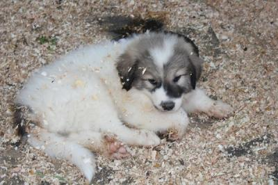''Great Pyrenees Puppies - Livestock Guardians Raised with Goats and Tortoises