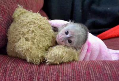 Capuchin monkey Babies with Cage 800 Euro