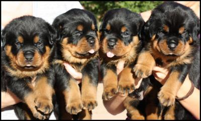 Affectionate  Rottweiler Puppies for adoption!!!