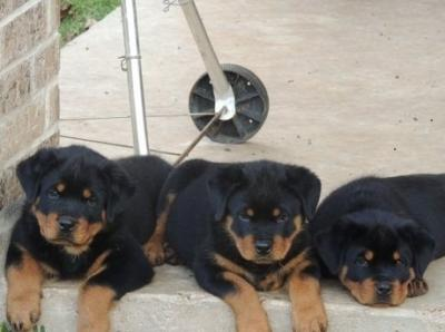 Affectionate  Rottweiler Puppies Ready For A new home