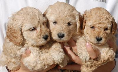 Happy Family of Labradoodle Puppies ready for Adoption TEXT to(302) 417-1065