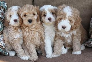 Just seeking a caring home for our friendly Labradoodle Puppies TEXT to (302) 417-1065