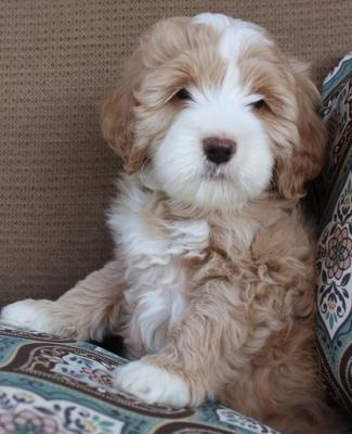 We waiting a caring home for our cutes Labradoodle Puppies