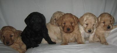 Intelligent Boys and Girls Labradoodle Puppies ready for the first five Homes Text(302) 417-1065