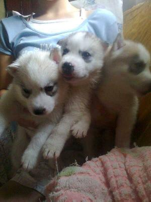 Adorable baby male and female Siberian Husky puppies.