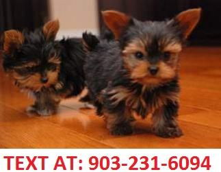 Home Trained Yorkshire Terrier For Adoption