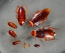Pests free Bedbugs, cockroaches, Termites, Rats control mombasa