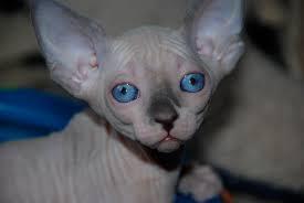 Angelic Sphynx Kittens Ready Now