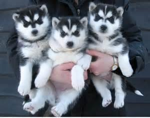Cute Siberian Husky puppies readily available