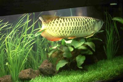 arowana fishes of all breed for sale