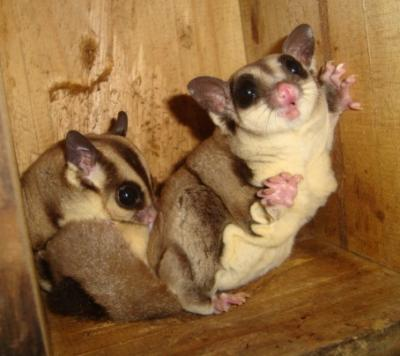 EXOTIC SUGAR GLIDERS FOR PETS TRY THE THRILL OF A NEW HOBBY!!