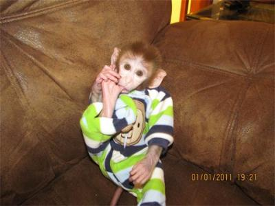 Baby capuchin monkeys for adoption Home raised ...