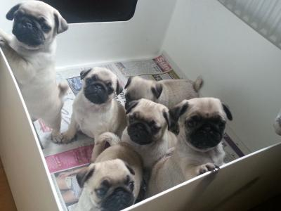 Home Train Pug Puppies Available.