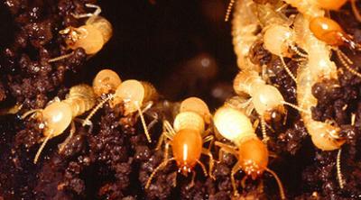 Buzzkill The Pest Exterminators - Your Termite & Pest Control Specialist in Brisbane