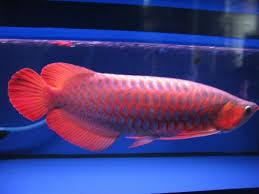 Arowana fishes for sale at affordable prices