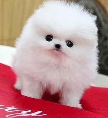 Beautiful Pomeranian Puppies available.(301)   966-3983