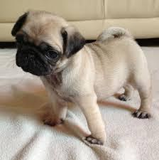 Excellent male and female pug puppies