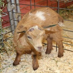 Nigerian Doe Kids Gold/White BLUE EYES - Bottle Babies