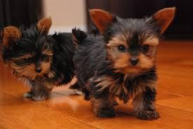 Home raised yorkie puppies for rehoming.
