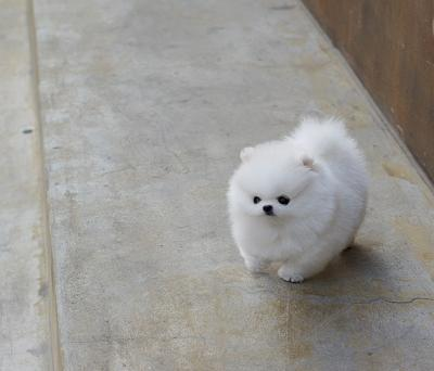 Absolutely Gorgeous POMERANIAN Puppies For Sale Text (701) 660-2572