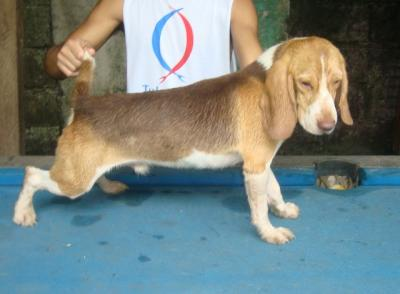 RUSH SALE CHOCO TRICOLOR MALE ALREADY YOUNG SOON READY FOR STUD