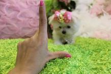 Teacup size Maltese Puppies for sale.